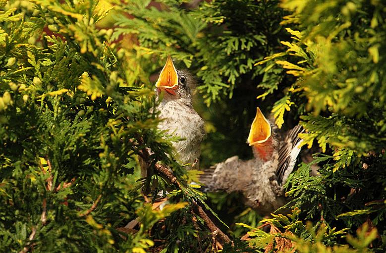 小嘲鸫叼桑枣喂小【Northern Mockingbird】_图1-15