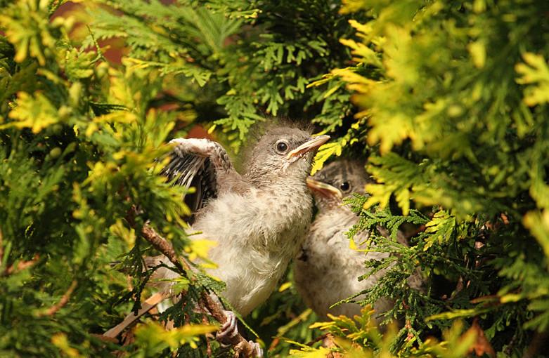 小嘲鸫叼桑枣喂小【Northern Mockingbird】_图1-17