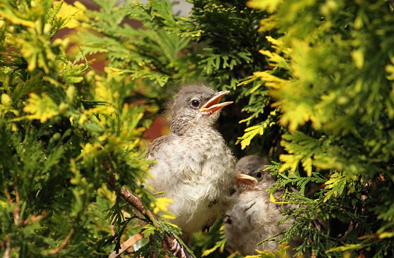 小嘲鸫叼桑枣喂小【Northern Mockingbird】_图1-18