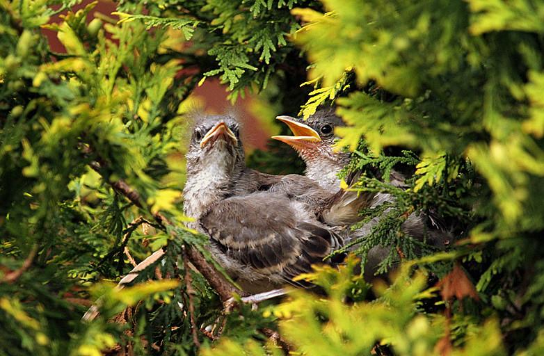小嘲鸫叼桑枣喂小【Northern Mockingbird】_图1-19