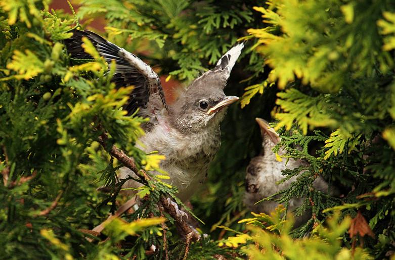小嘲鸫叼桑枣喂小【Northern Mockingbird】_图1-21