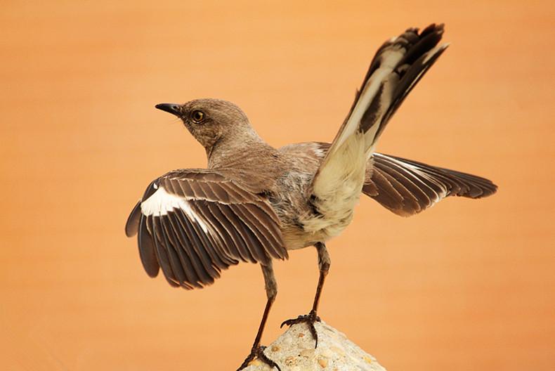 小嘲鸫叼桑枣喂小【Northern Mockingbird】_图1-22