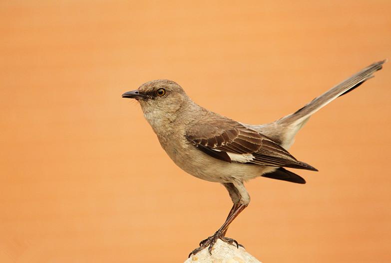 小嘲鸫叼桑枣喂小【Northern Mockingbird】_图1-23