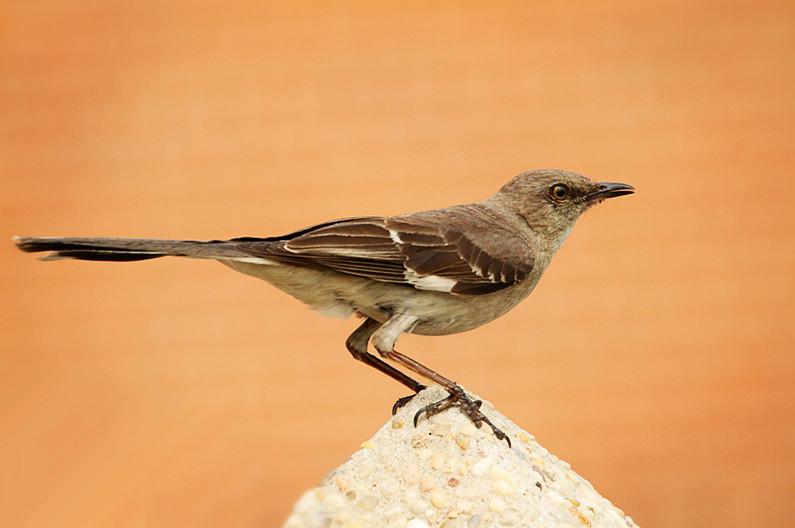 小嘲鸫叼桑枣喂小【Northern Mockingbird】_图1-24