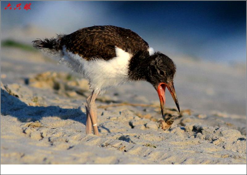 六只眼:红嘴鸥和它的宝宝_图1-5