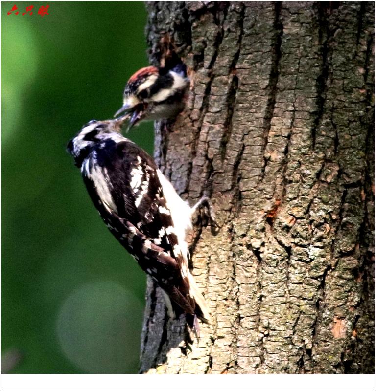 六只眼: 小小啄木鸟_图1-1
