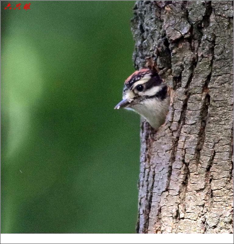 六只眼: 小小啄木鸟_图1-2