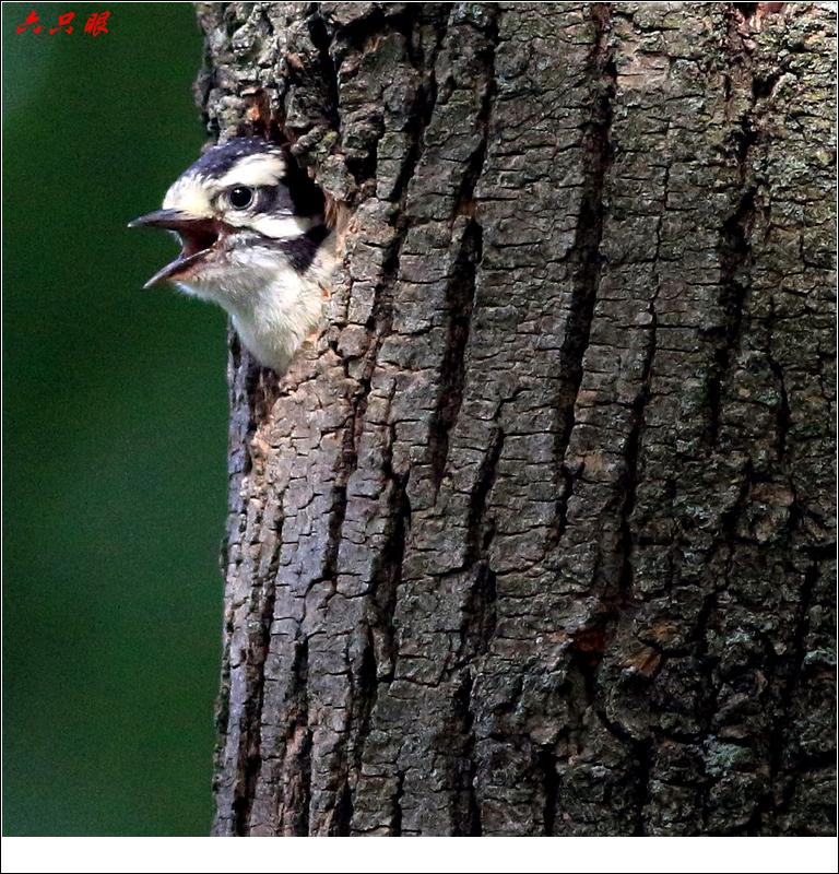 六只眼: 小小啄木鸟_图1-3