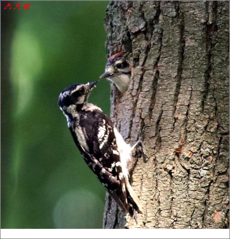 六只眼: 小小啄木鸟_图1-4