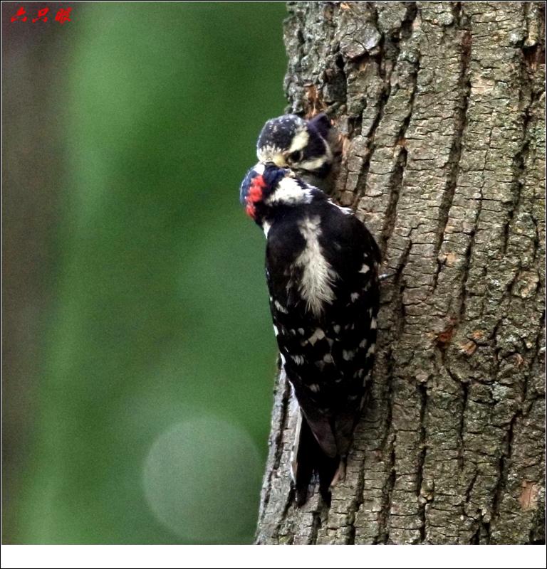 六只眼: 小小啄木鸟_图1-5