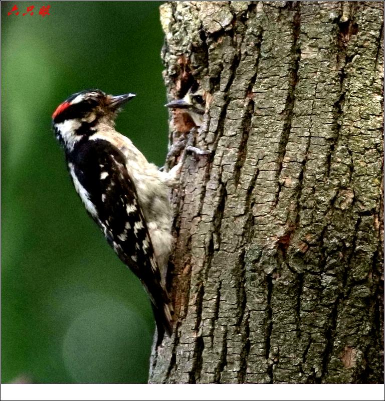 六只眼: 小小啄木鸟_图1-6