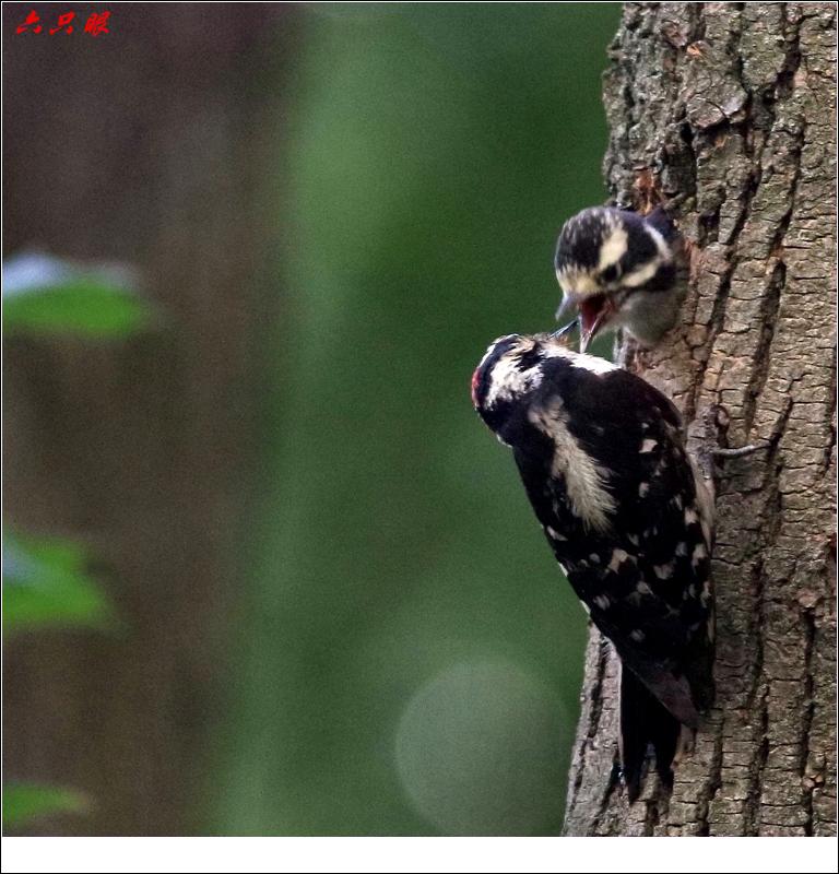 六只眼: 小小啄木鸟_图1-7