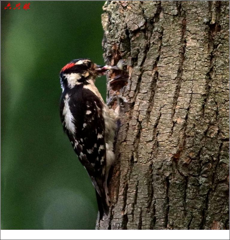 六只眼: 小小啄木鸟_图1-8