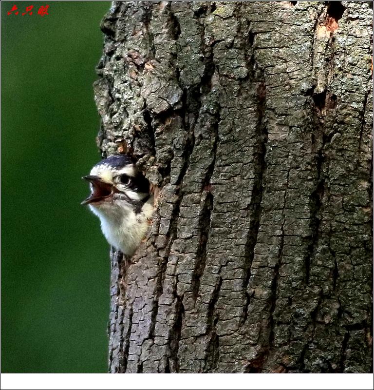 六只眼: 小小啄木鸟_图1-9