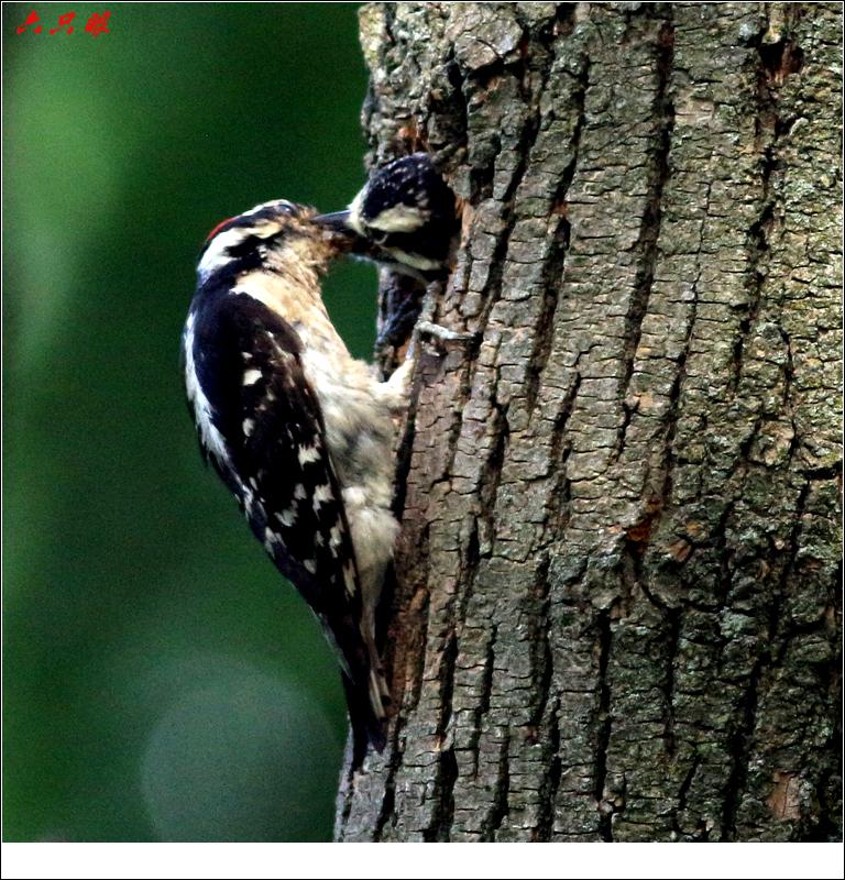 六只眼: 小小啄木鸟_图1-10