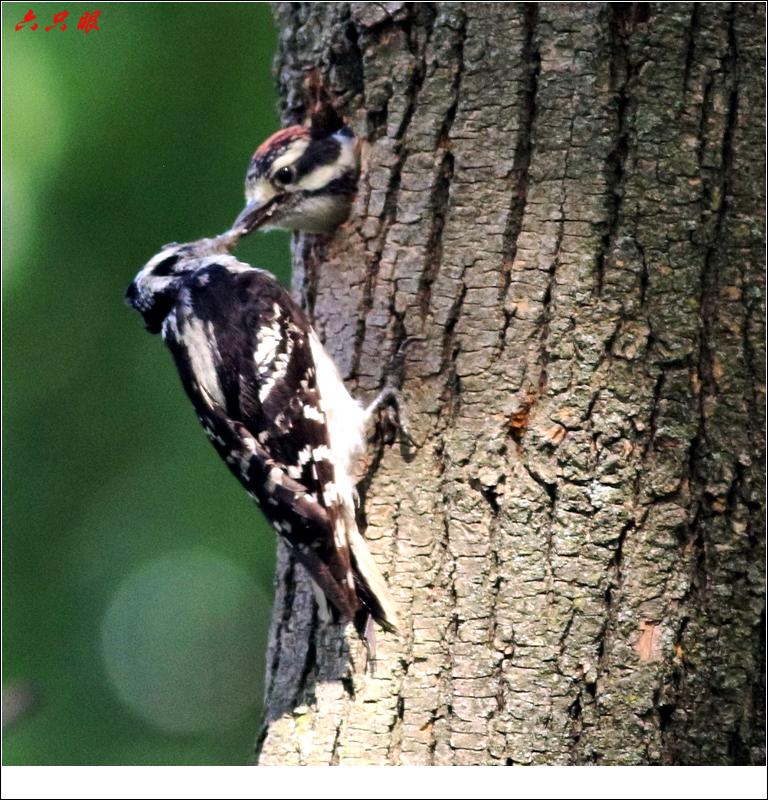六只眼: 小小啄木鸟_图1-11