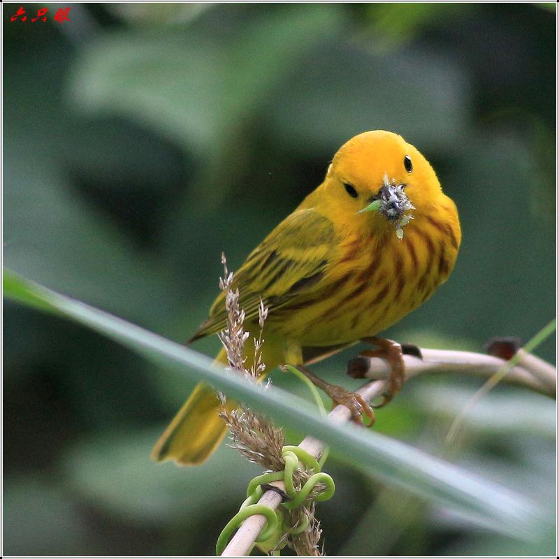 六只眼:捉虫的黄莺_图1-4
