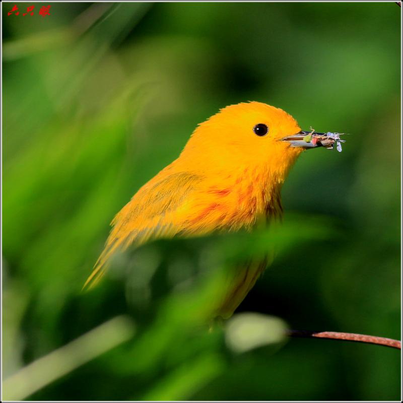 六只眼:捉虫的黄莺_图1-5