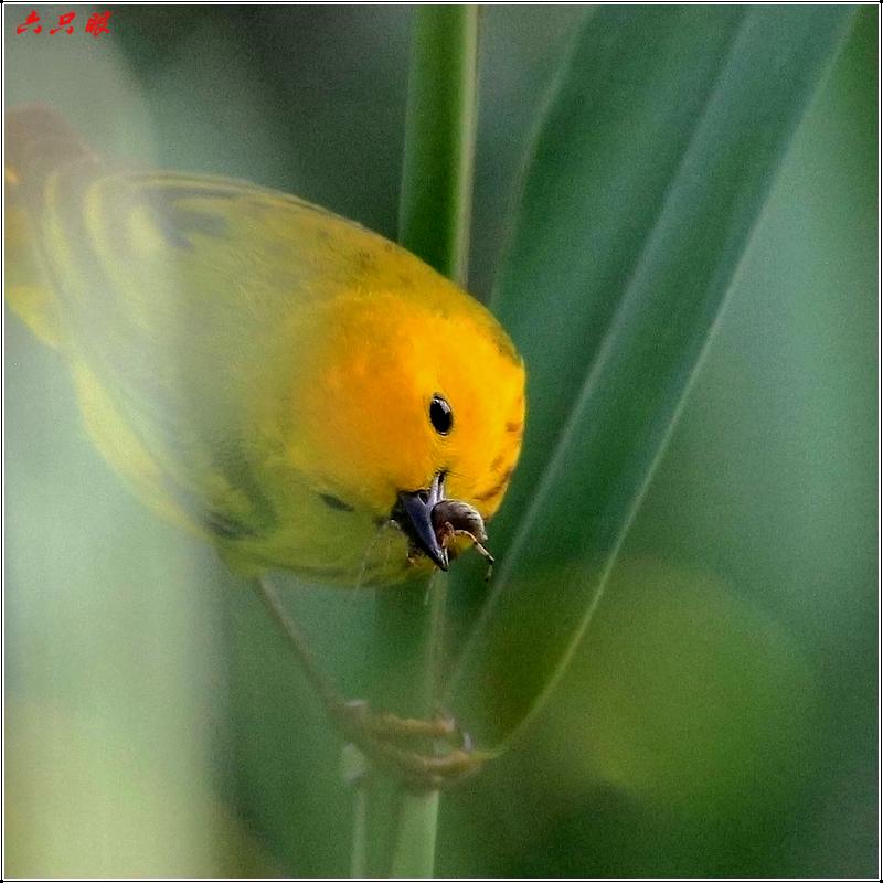 六只眼:捉虫的黄莺_图1-11