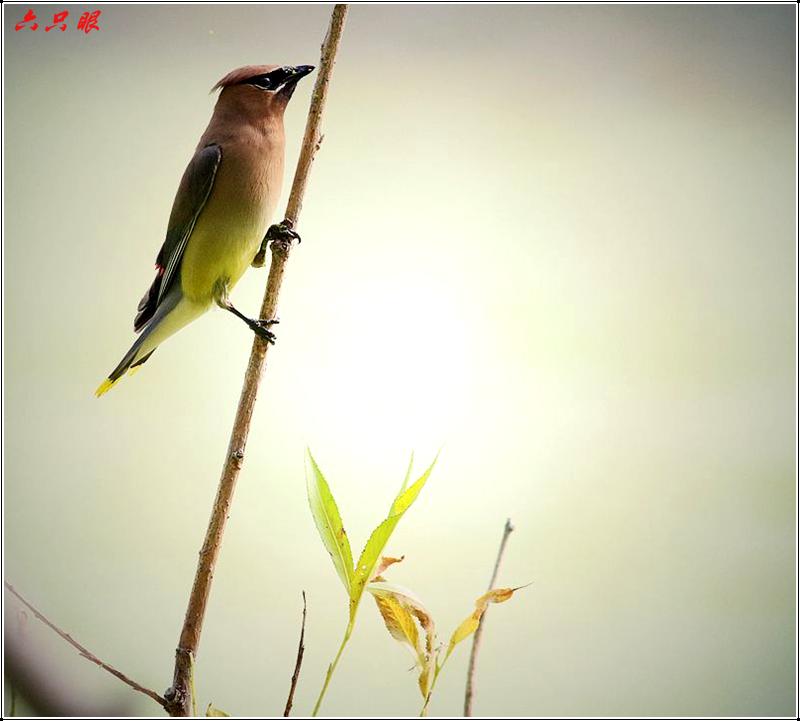 六只眼:太平鸟_图1-2
