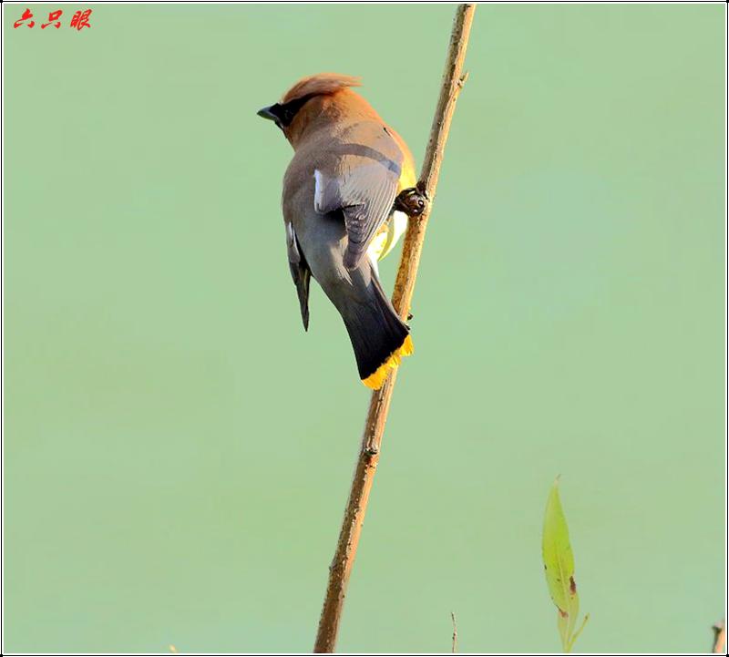 六只眼:太平鸟_图1-5