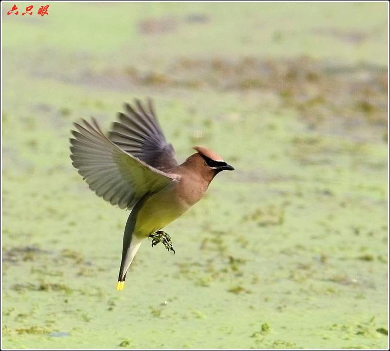 六只眼:太平鸟_图1-7