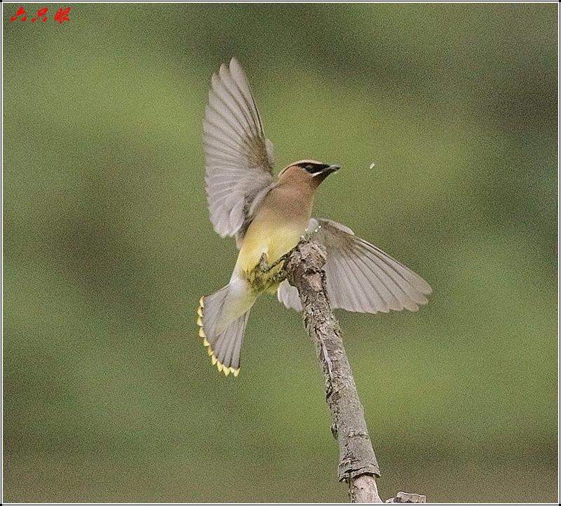 六只眼:太平鸟_图1-8