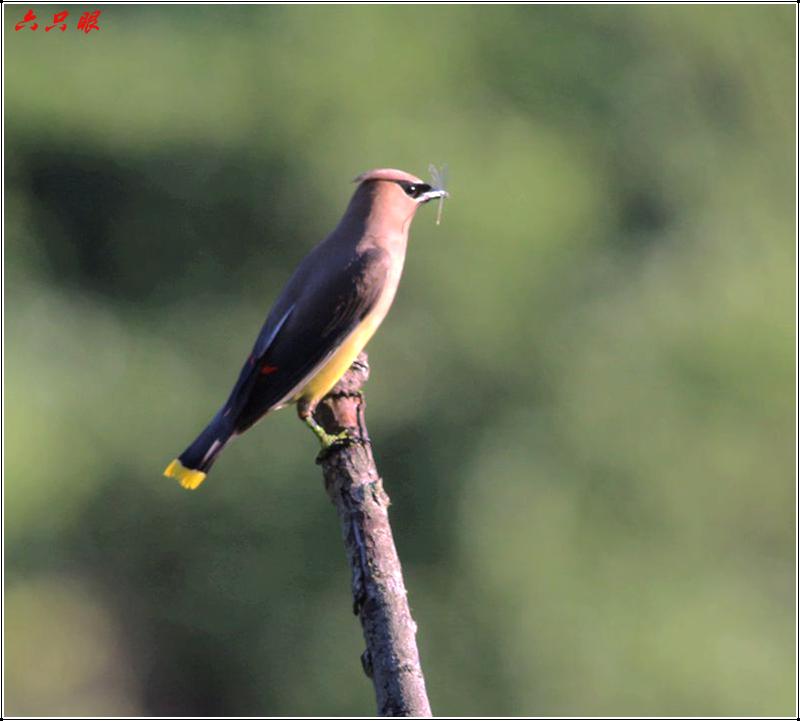 六只眼:太平鸟_图1-9