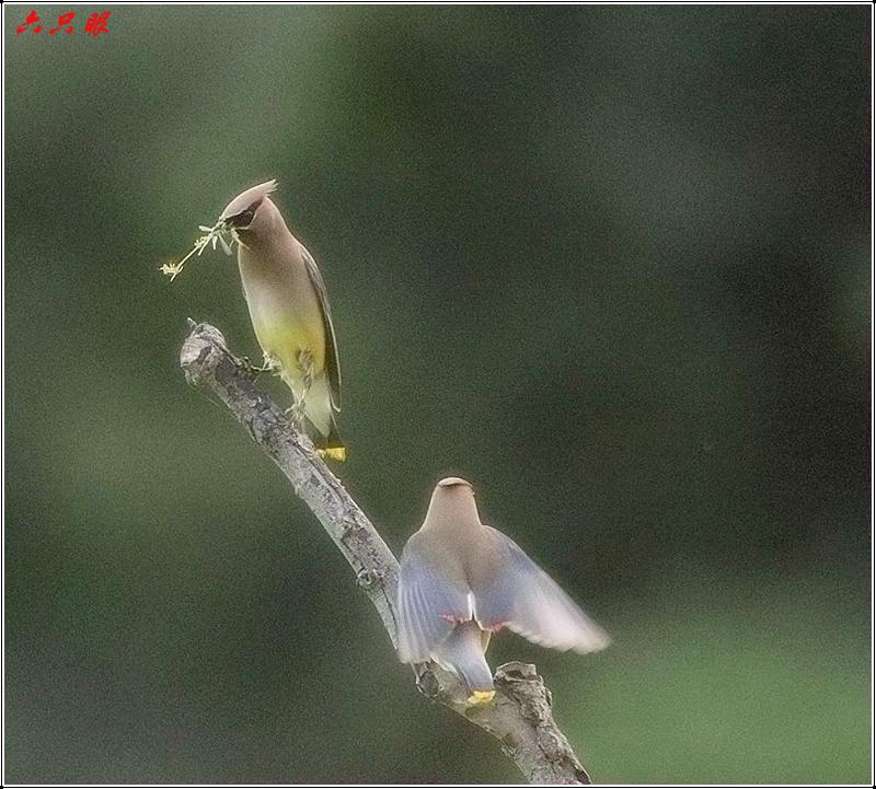 六只眼:太平鸟_图1-10