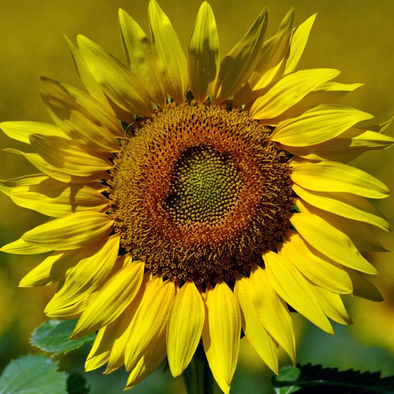 葵花朵朵向阳开_图1-1