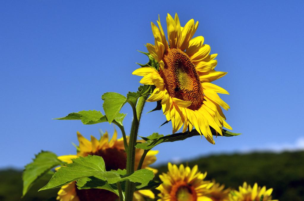 葵花朵朵向阳开_图1-2