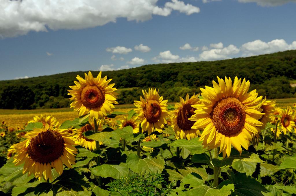 葵花朵朵向阳开_图1-7