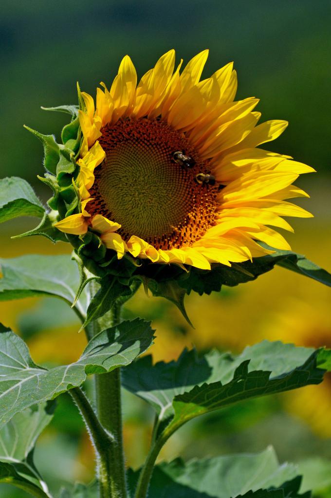 葵花朵朵向阳开_图1-8