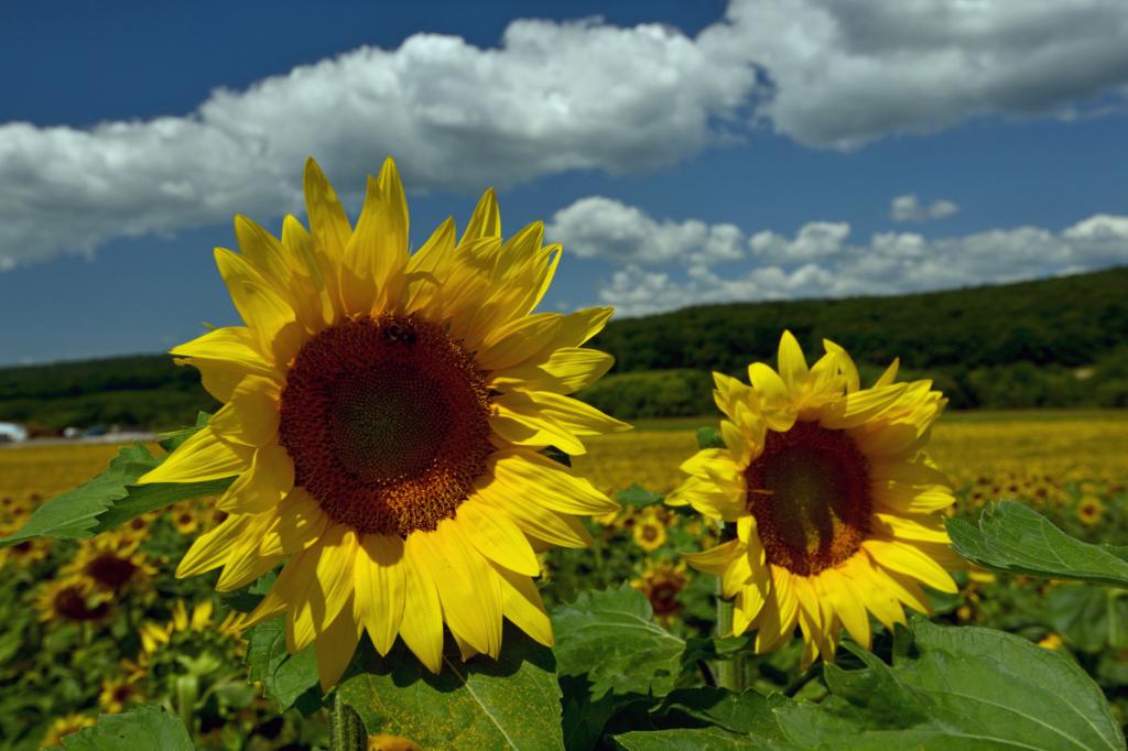 葵花朵朵向阳开_图1-9