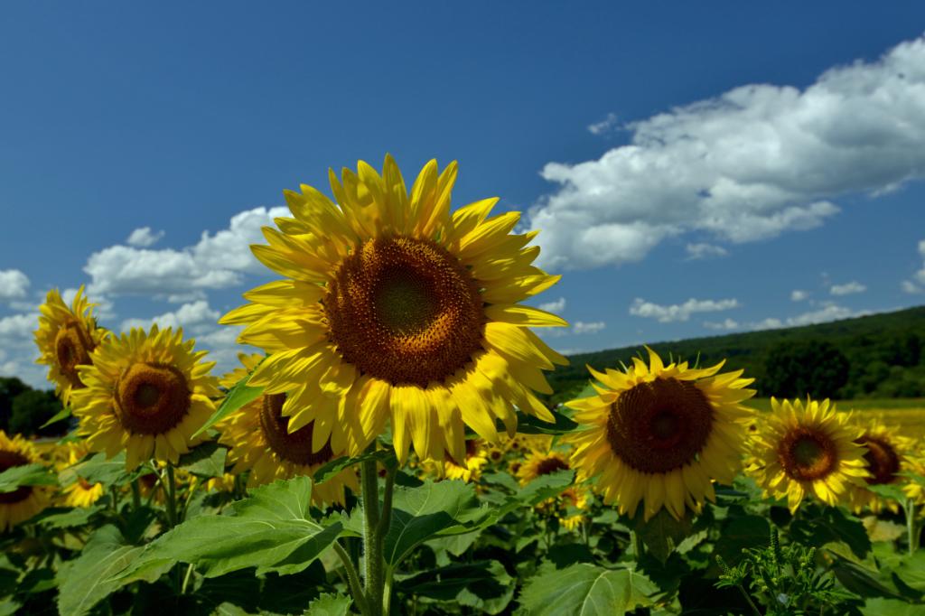 葵花朵朵向阳开_图1-10