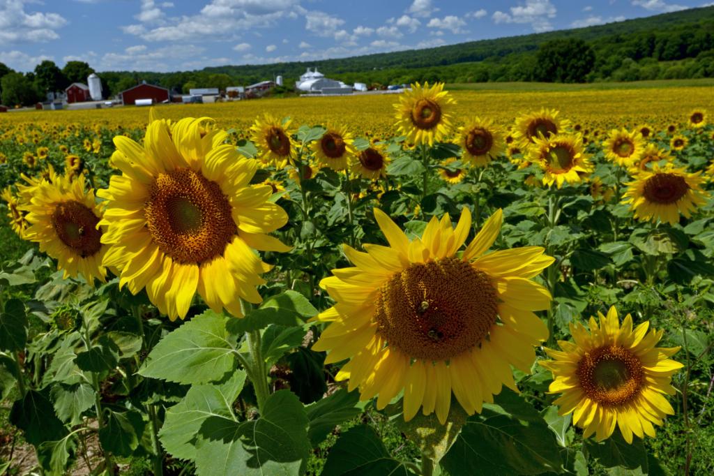 葵花朵朵向阳开_图1-11