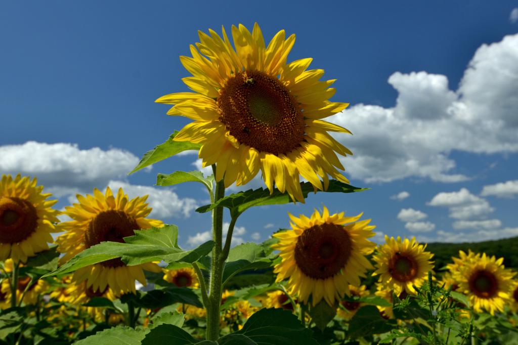 葵花朵朵向阳开_图1-12