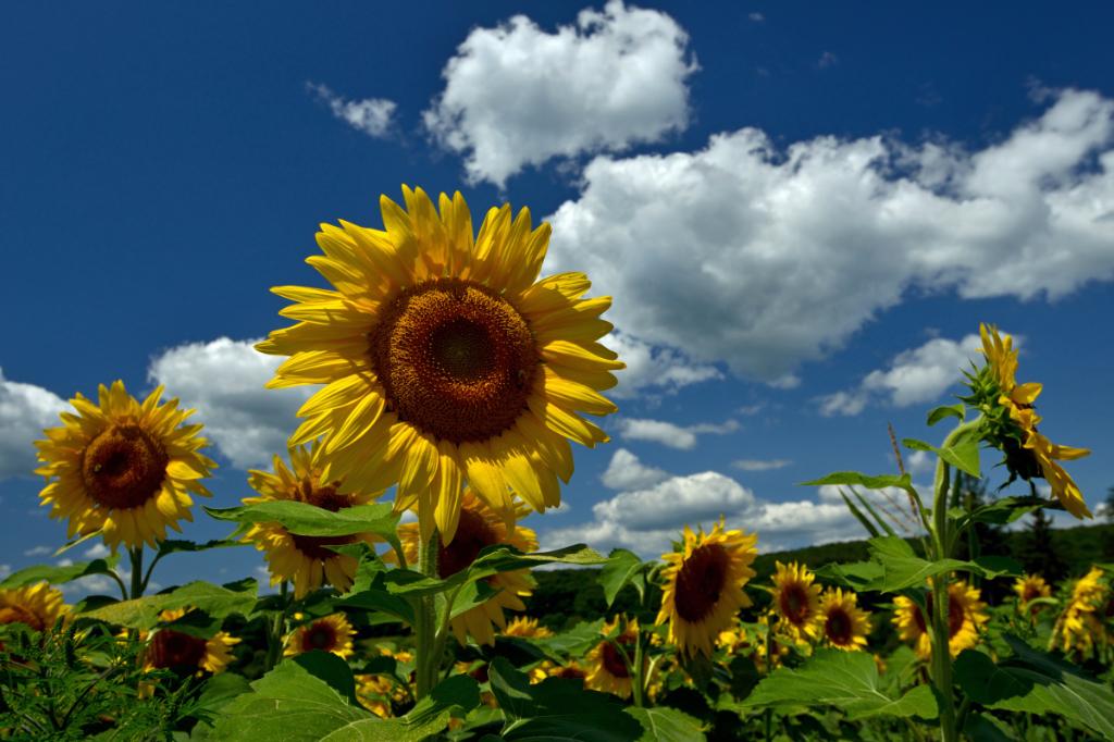 葵花朵朵向阳开_图1-13