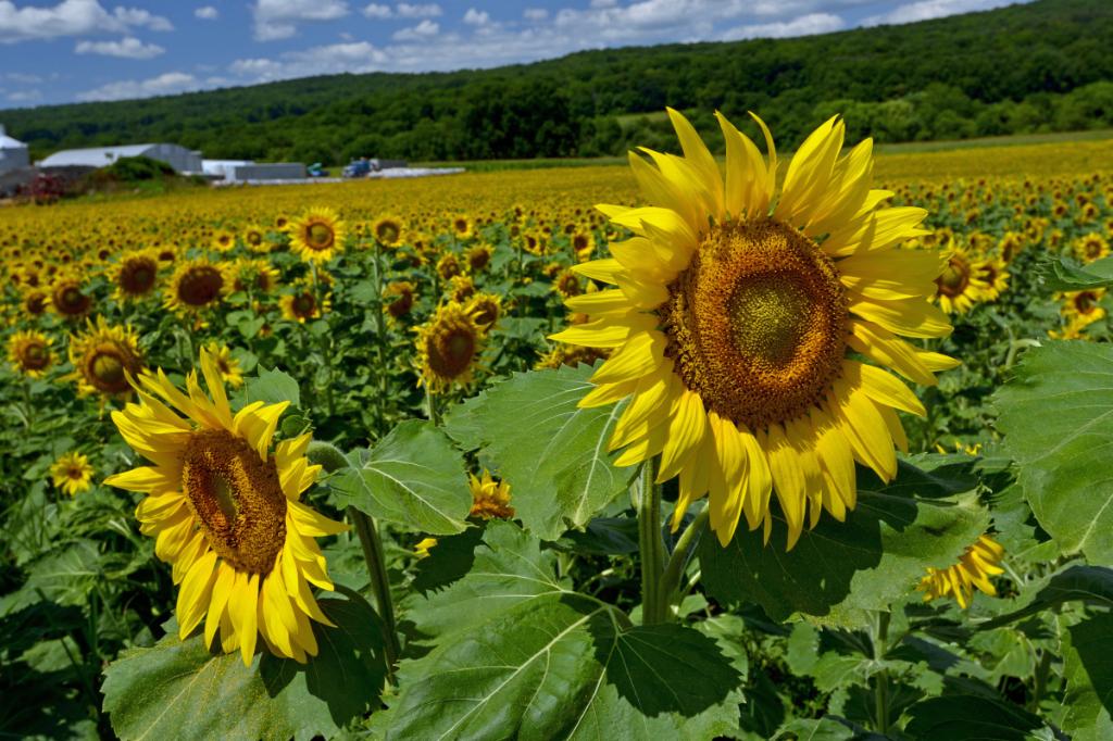 葵花朵朵向阳开_图1-14