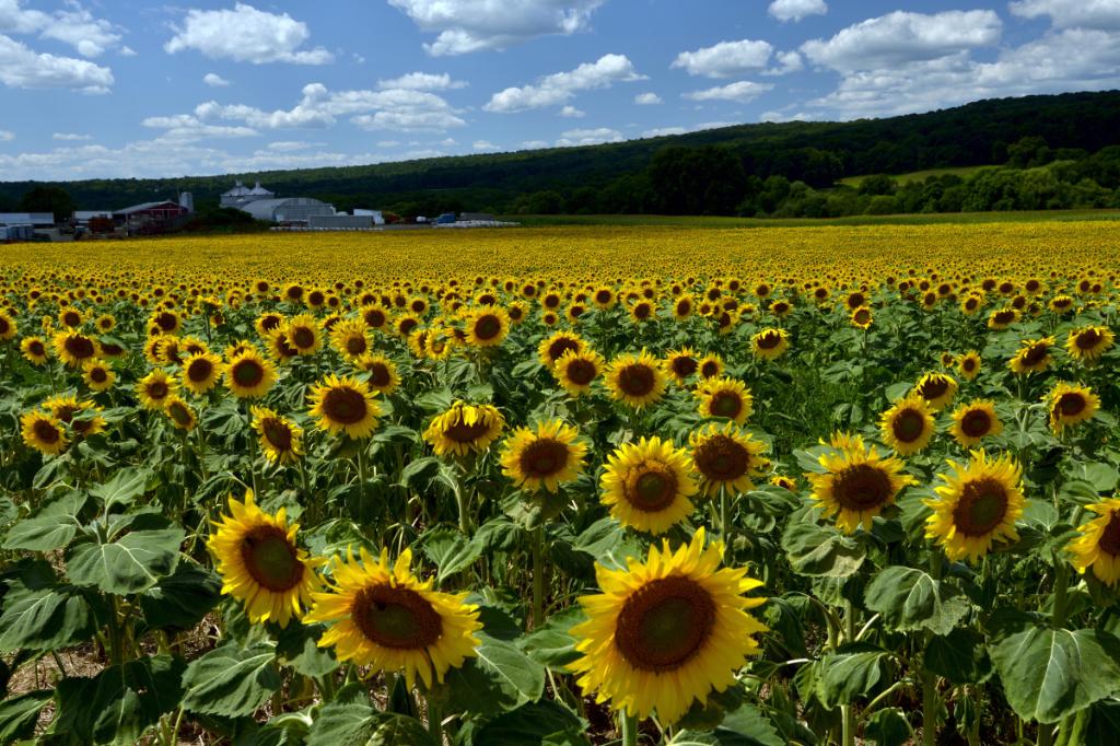葵花朵朵向阳开_图1-15