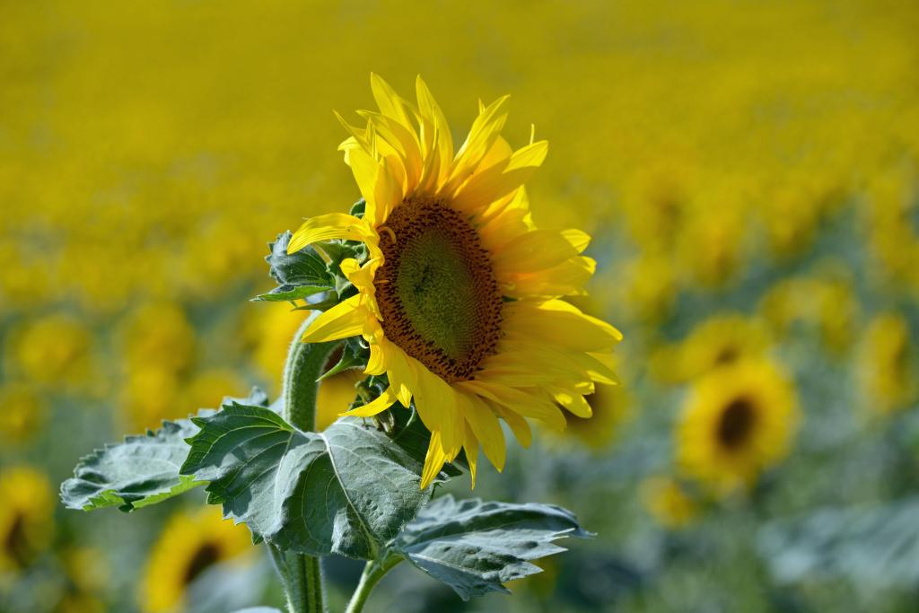 葵花朵朵向阳开_图1-4