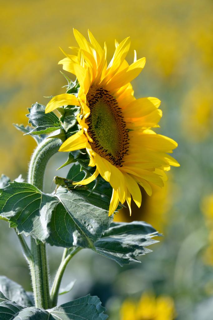 葵花朵朵向阳开_图1-5