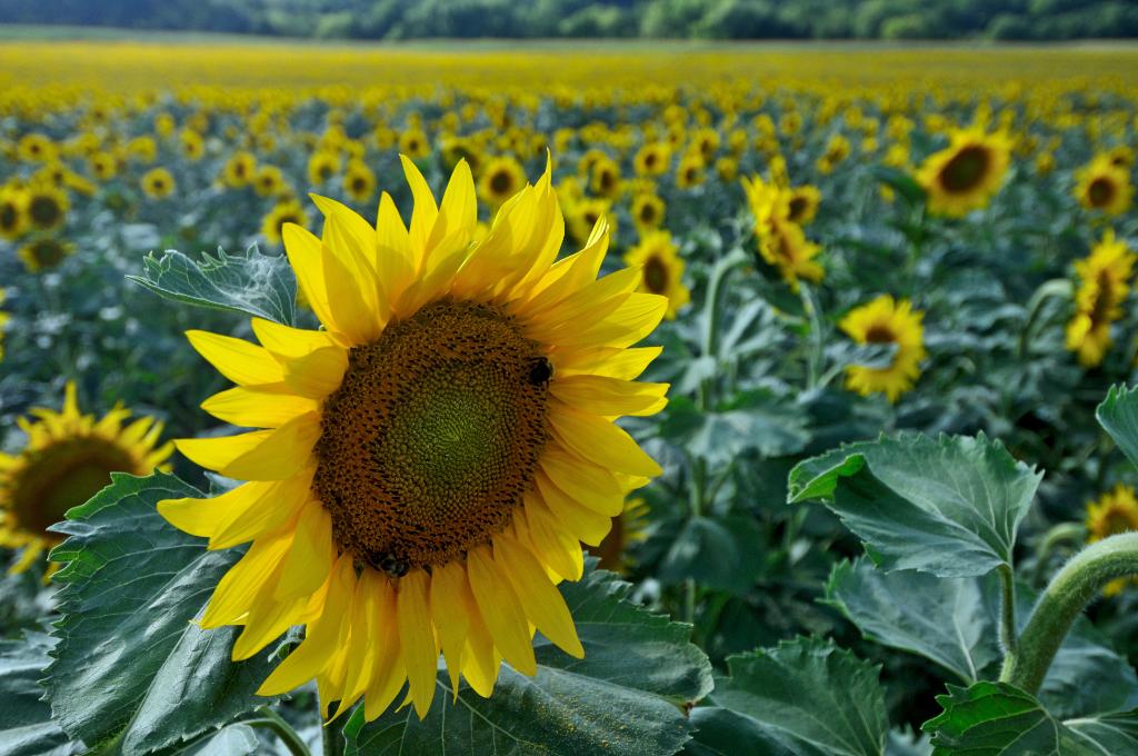 葵花朵朵向阳开_图1-6