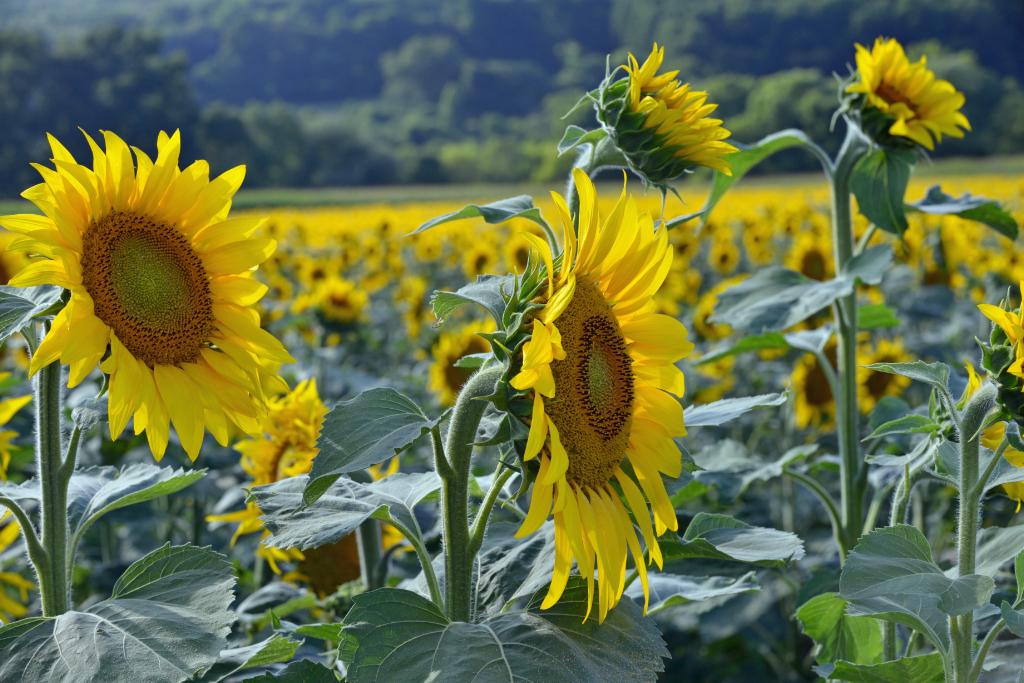葵花朵朵向阳开_图1-3