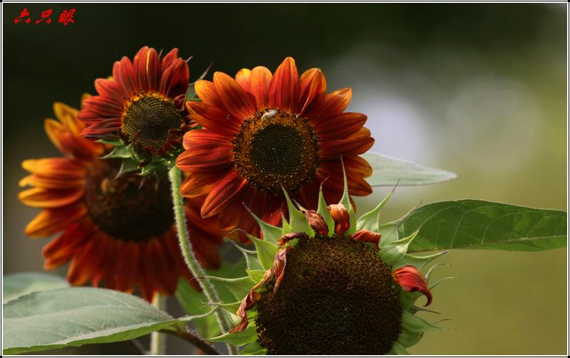 六只眼:向日葵与金翅雀_图1-4