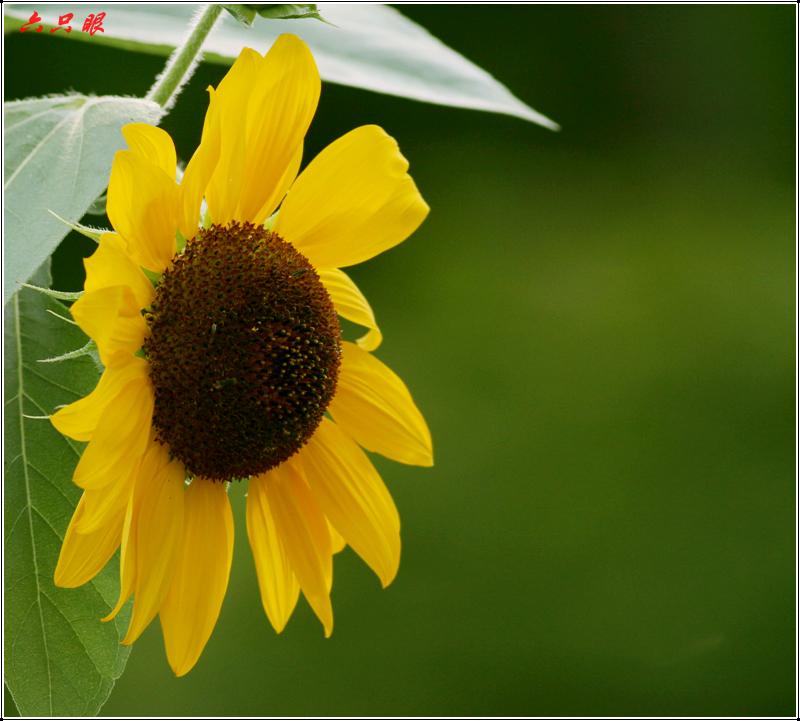 六只眼:向日葵与金翅雀_图1-2