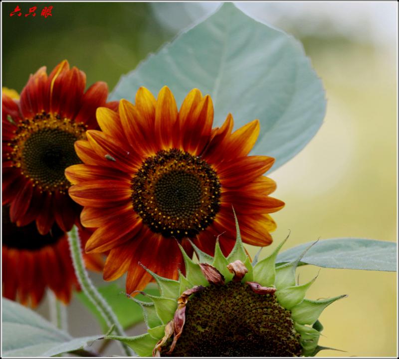 六只眼:向日葵与金翅雀_图1-3