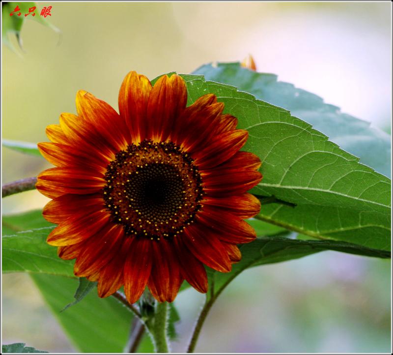 六只眼:向日葵与金翅雀_图1-1