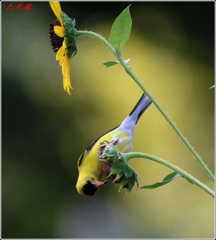 六只眼:向日葵与金翅雀_图1-6