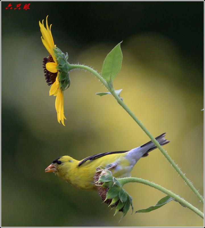 六只眼:向日葵与金翅雀_图1-7